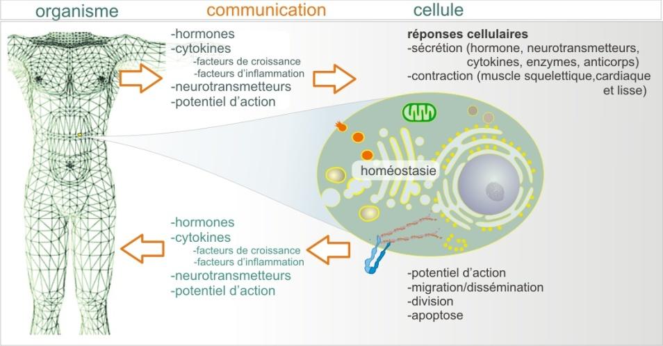 1 la cellule et sa membrane plasmique biologie