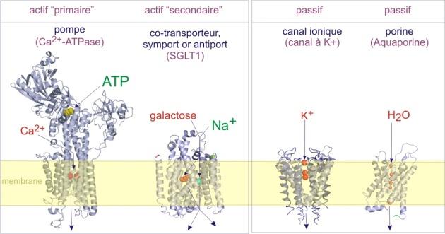 2  transport membranaire  biologie cellulaire