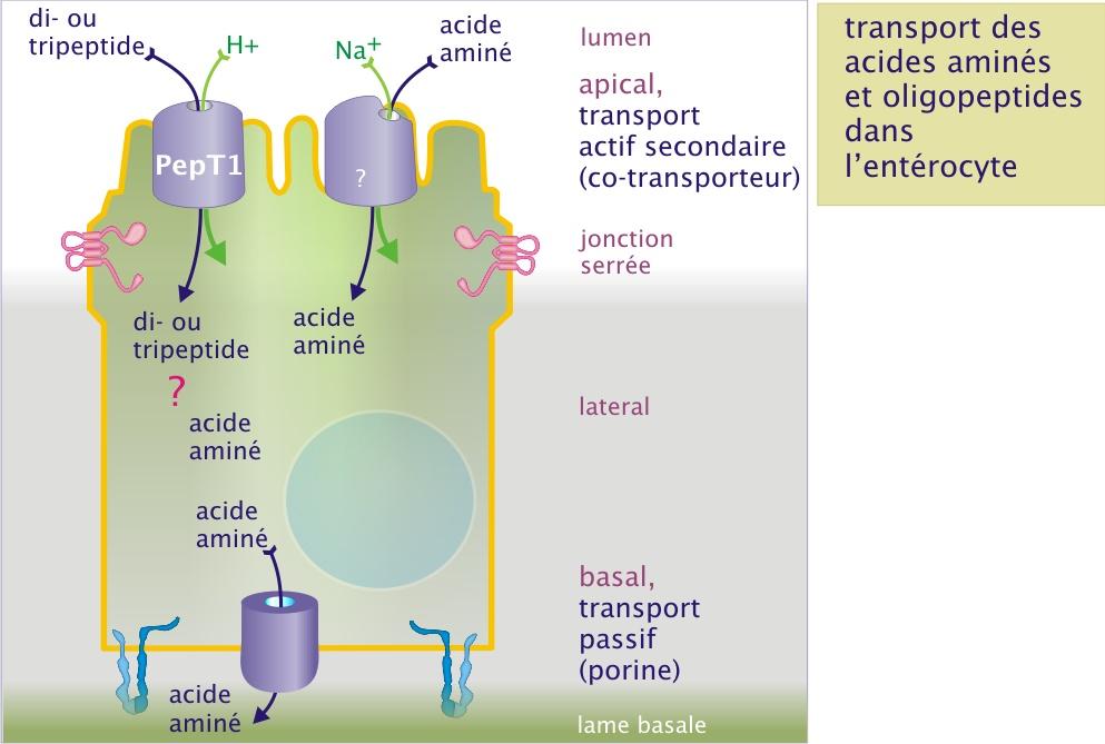 2 Transport Membranaire Biologie Cellulaire 2 3 Le