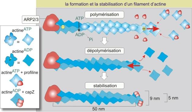 Les polymères définition simple