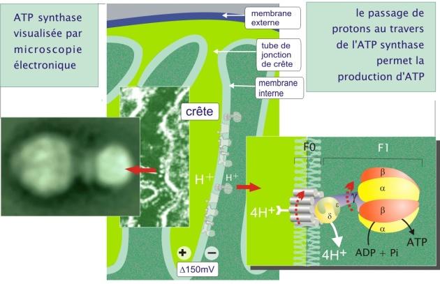 chaîne respiratoire animation