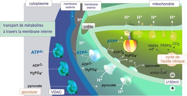5  la mitochondrie  biologie cellulaire