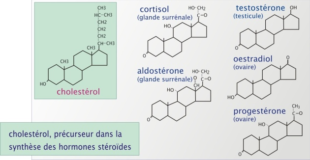 testosterone protein synthesis