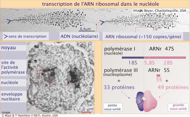 proteine masse