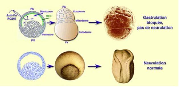 laterale hemmung biologie