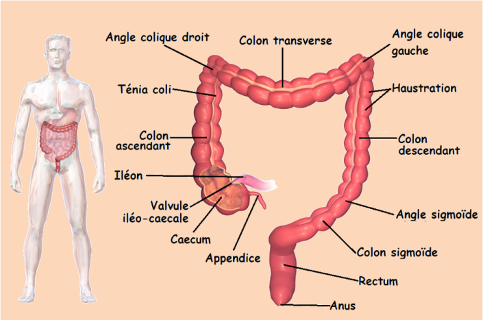 Anatomie Du Corps Humain Intestin