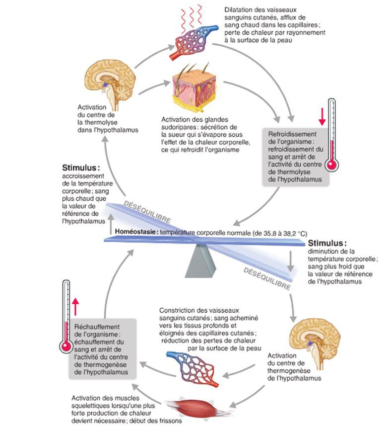 physiologie des syst mes int gr s les principes et fonctions r troaction n gative. Black Bedroom Furniture Sets. Home Design Ideas