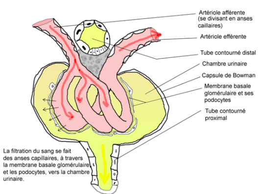 Physiologie des syst mes int gr s les principes et for Chambre urinaire