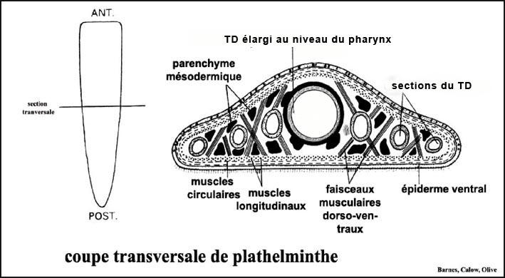 transversale